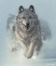 White Wolf: Fabulous Wolf Paintings of Collin Bogle (Photos- Video)