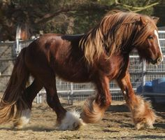Shiredale Lennys Flint....A Drum horse, Shire x Gypsy Vanner