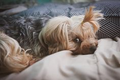 """Yoshi (12 lbs) was killed by an off-leash pit while being walked by his dad with three other Yorkies. The pit owners ran away, taking no responsibility. Another """"pit & run""""."""
