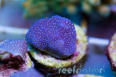 Scientific Name: Porites History: An amazingly bright coral that will encrust to form a crazy contrast of purple in your reef tank  Coral Frags, Hard Coral, Undersea World, Underwater Sea, Save Our Oceans, Fish Tank, Salt, Palette, Dreams