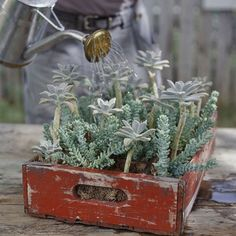 succulents in an old crate