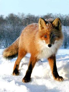 I love foxes. They are becoming one of my favorite animals. Horses, betta fish, foxes. :)