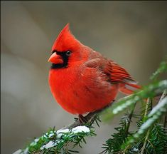 Cardinals, in the family Cardinalidae, are passerine birds found in North and South America. They are also known as cardinal-grosbeaks and cardinal-buntings. Pretty Birds, Love Birds, Beautiful Birds, Animals Beautiful, Cute Animals, Animals Amazing, Pretty Animals, Birds 2, Wild Birds