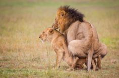 Stark wie einLöwe. | Masai Mara. | Kenia.   Mehr www.shop.ingogerlach.de