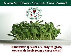 How to Grow Sunflower Sprouts from Whole Sunflower Seeds Indoor Vegetable Gardening, Veg Garden, Gardening Tips, Growing Sunflowers, Sprouting Seeds, Growing Herbs, Growing Microgreens, Sprout Recipes, Sprouts