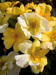 Perfect Plants Live Sunny Knock Out® Rose Bush Yellow Knockout Roses, Double Knockout Roses, Yellow Flowers, Beach Flowers, Fall Flowers, Fast Growing Trees, Growing Flowers, Rose Diseases, Gardens