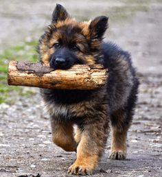 GSD Puppy-Wulfi                                                       …