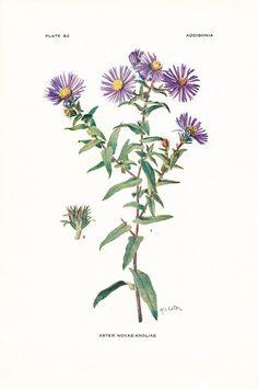 1918 Botany Print Aster Novae-Angliae New England Aster