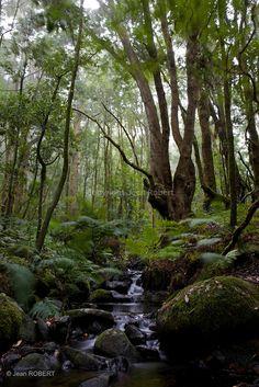 Forêt de Laurisylve du parc national de Garajonay sur l'île de Goméra. Canarias Spain