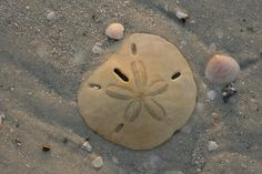 """My daughter told me the rattling inside of a sand dollar are from the """"doves"""" inside.  She was grossed to find out the sound is from teeth."""