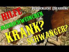 HILFE - Meerschweinchen krank? Oder Schwanger? Die Erfahrung - YouTube #Meerschweinchen #Food #GuineaPig #GuineaPigs #Baby