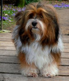 Dogs are said to be some of the best pets to keep. As a matter of fact, they are referred to as man's best friends. There are many breeds of dogs Dachshund Breeders, Havanese Puppies, Cute Baby Animals, Animals And Pets, Havanese Full Grown, Havanese Haircuts, Cat Dog, Shih Tzu, Rescue Dogs