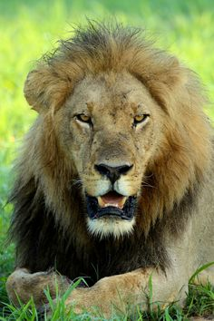 Male Lion at Kwando Lagoon Camp - photo taken by P. Male Lion, Leopards, East Africa, Big Cats, Lions, Safari, Photographs, Around The Worlds, Tours