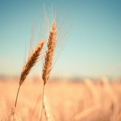 Detalle del campo de grano