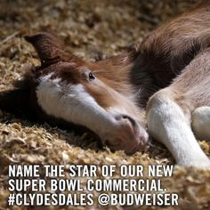 The annual Budweiser Clydesdale commercial for the Super Bowl has taken a social media turn: a baby foal stars in the ad and fans are invited to name him by using a hashtag and the newly-launched Budweiser Commercial, Commercial Ads, Big Horses, Horse Love, Warm Springs Ranch, Clydesdale Horses, Breyer Horses, Draft Horses, Beautiful Horses