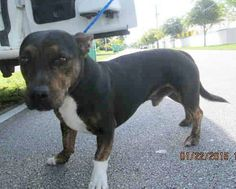 SAFE --- KANE (A1674771) I am a male tricolor Terrier mix. The shelter staff think I am about 4 years old. I was found as a stray and I may be available for adoption on 01/28/2015. — hier: Miami Dade County Animal Services. https://www.facebook.com/urgentdogsofmiami/photos/pb.191859757515102.-2207520000.1422133713./915612981806439/?type=3&theater