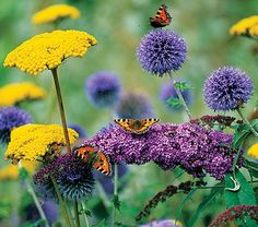 Butterfly Favorites Collection  One plant each of:  Achillea 'Gold Plate', with bright gold domes of flowers.     Buddleia davidii Peacock™ ('Peakeep'), scented blooms of rich pink .  Echinops ritro ruthenicus, a Globe Thistle with large, rich blue, globe-shaped flower heads.