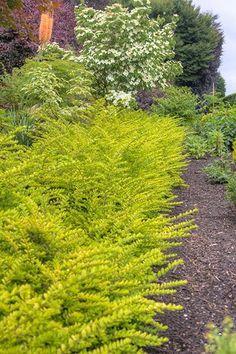 Lonicera_nitida_Golden_Glow  Lonicera nitida La Lonicera nitida si presta alla convivenza con altri arbusti o bulbi da fiore. Sta bene in gruppo, ma anche come esemplare isolato.  SCHEDA BOTANICA arbusto sempreverde, alto fino a 2 m e largo fino a 1,5 m, con crescita medio-rapida; foglie ovali, piccole, verdi o variegate; fiori numerosi, bianco-giallastri, in primavera