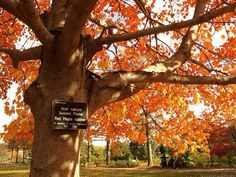 RI state tree is the Red Maple