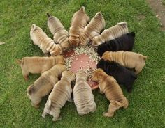 share by a shar pei breeder  In spain Nokas Magalhaes