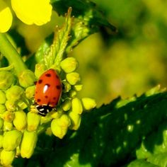 benefical insect @tablascreek #organic #biodynamic #vineyard #vineyards #grape #winegrapes #leaf #view #closeup #grapevines #CA #USA #pasorobels #red #white #green #black #beautiful #beauty #pretty #sun #nature #photooftheday #instagood #instamood #color #colors #colour #colours #colorful