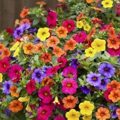 Les pétunias sont de très jolies fleurs annuelles, faciles à faire pousser dès le printemps et jusqu'aux premières gelées.
