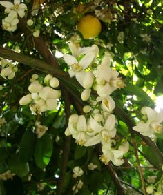 Grapefruit Tree, Citrus x paradisi, and blossoms Would put these blossoms in my hair when farming
