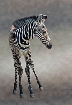 "A Zebra Foal: ""Hey Mom! I'm over here!""      (Photo By: Krys Bailey.)"