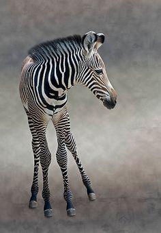 ~~Dreams in Black and White ~ Grevy's Zebra Foal by Krys Bailey~~