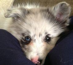 Blue Merle Poshie . A Pomeranian / Sheltie mix .