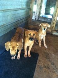 Melody, Tula & Dunkin is an adoptable Labrador Retriever Dog in Chipley, FL. 3 lab mix pups 2 females 1 male 6-7.months old and around 20 lbs each females are 'Melody' and 'Tula' and the male is 'Dunk...