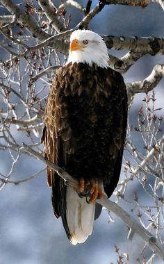 Wilde Natur - Weißkopfseeadler in Aspen Colorado. - durch Larry Bennett - Margaret Worsham - - Wilde Natur - Weißkopfseeadler in Aspen Colorado. Pretty Birds, Beautiful Birds, Animals Beautiful, Eagle Pictures, Bird Pictures, Nature Animals, Animals And Pets, Aigle Animal, Types Of Eagles