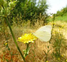 Una mariposa raudense. #roa #burgos #butterfly #campo #paseo #walk #field #grass #green #naturaleza