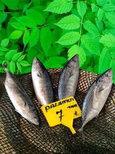 """Palamut balığı isminin kökeni nereden gelir? En bol isimlendirme bizdedir anacım. Palamut ismi Yunanca kökenlidir, palamida kelimesinden gelir. Aramızda kalsın, ben kendisini Estambul balık tezgâhında gördüğümde """" la bonita gel bakalım"""" derim."""