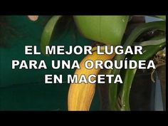El mejor lugar para colocar tu orquídea (Phalaenopsis) - YouTube Orchidaceae, Amazing Flowers, Container Gardening, Bonsai, Orchids, Youtube, Plants, Homesteading, How To Replant Orchids