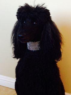 Gorgeous black standard #poodle #dogs #poodles