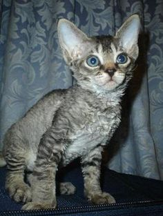 Devon Rex Cat - I want a little girl cat just like this for me and Seth!  They are hypoallergenic and SO cute!
