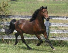 Morgan Horse All Time Favorite!