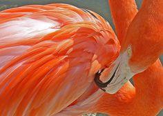 Flamingo - fine art photograph - 5x7 unmatted print of orange flamingo by @Lucy Peltier