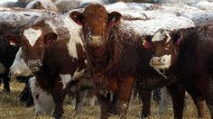 WTO rules against U.S. meat labelling laws - http://www.newswinnipeg.net/wto-rules-against-u-s-meat-labelling-laws/