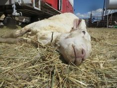 Please sign!! International Exposé: Sheep Killed, Punched, Stomped on, and Cut for Wool