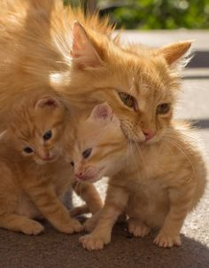 Mama Cat And Kittens All Matching.you Look Just Like Your Mom! Orange female cats are uncommon. Only of Orange cats are female. Cute Cats And Kittens, I Love Cats, Crazy Cats, Cool Cats, Kittens Cutest, Ragdoll Kittens, Bengal Cats, Pretty Cats, Beautiful Cats