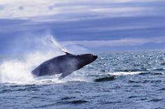 Hermanus whale watching, saw the babies breaching