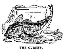 Illustration: THE GURNET. From Beeton - coastal fish