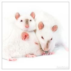 The Milky Rats 3 by DianePhotos on DeviantArt
