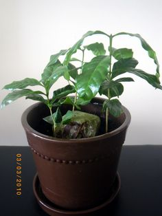 The Making of Coffee leads to Houseplants Inside Plants, Coffee Blog, Coffee Plant, Coffee Type, Plant Needs, Artificial Plants, Fruit Trees, Houseplants, The Great Outdoors