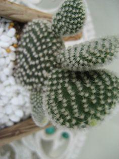 cactus Opuntia microdasys@ telinga arnab
