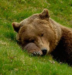 ✣ Ąrŋiƙą ✣ — beautiful-wildlife: Sleeping Bear by René Lutz Photo Ours, Photo Animaliere, Nature Animals, Animals And Pets, Cute Animals, Wild Animals, Baby Animals, Mundo Animal, My Animal