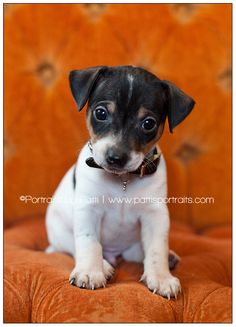 """Our new puppy, """"Cash"""".  He is a Rat Terrier, 6 weeks old!"""