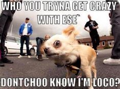 Bahahaha! I read this in the chihuahua's voice from Oliver and Company....